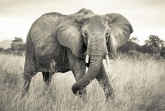 Into Illusions 2 poszter - Elephant